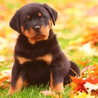 Tricks Revealed - Potty Training for Teacup Puppies